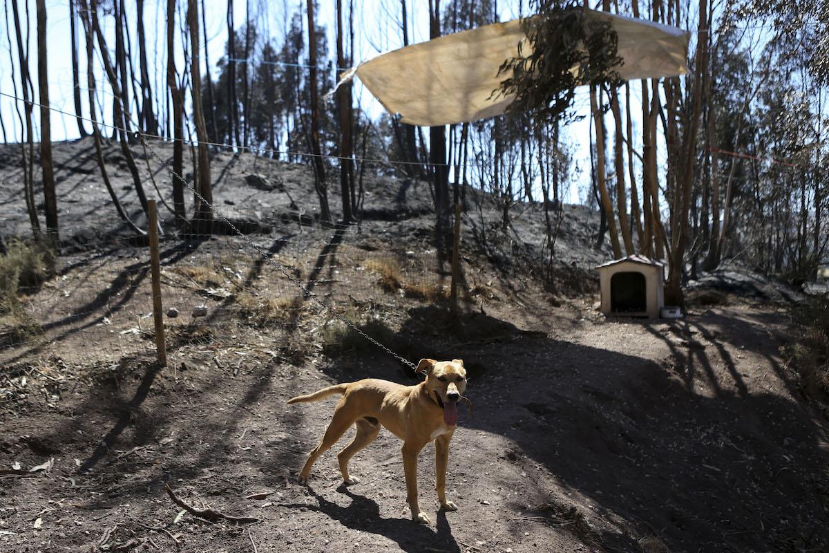 Resultado de imagem para incêndios em portugal 2017 cães